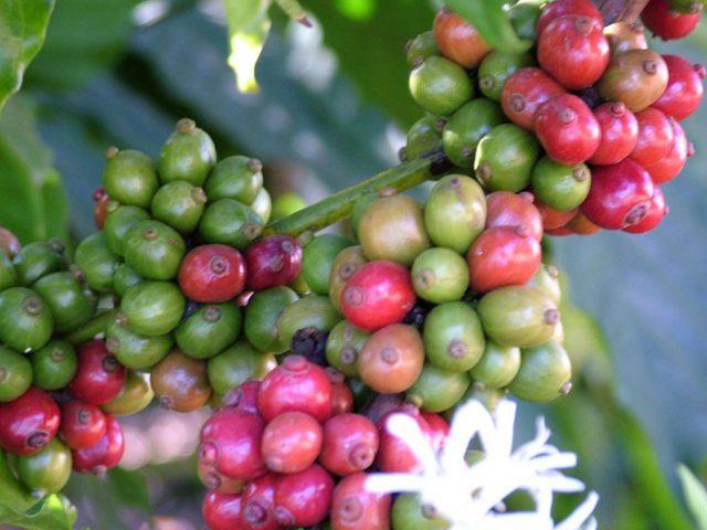 https://www.karnatakatravel.com/wp-content/uploads/2019/11/coffee_pepper_tour_coorg-640x480.jpg
